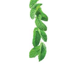 Zaļās piparmētru sīrups 1L